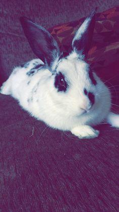 Rex rabbit (Dalmatian bunny)