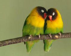 I love Lovebirds!!!