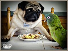 legit concern-You do not mess with a Pugs food!