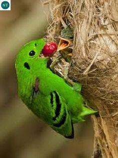 Mỏ rộng xồm Borneo, Sumatra và bán đảo Mã Lai | Green broadbill (Calyptomena viridis)(Eurylaimidae)(Calyptomena) IUCN Red List of Threatened Species 3.1 : Near Threatened (NT) | (Loài sắp bị đe dọa)