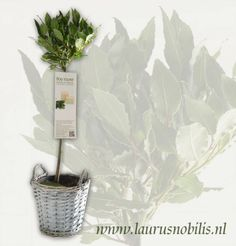 Laurus nobilis (bay tree, bay laurel)