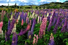 Katsu Tanaka photo of purple and pink flowers growing in the countryside of Patagonia.