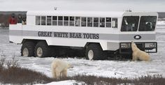 Polar bears and Polar Rover, Churchill, Manitoba, Canada