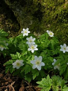 """The wood anemonie through dead oak leaves And in the thickest woods now blooms anew And where the green briar, and the bramble weaves Thick clumps o' green, anemonies thicker grew And weeping flowers, in thousands pearled in dew..."" - John Clare, 'Wood Anemonie'."