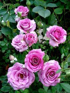 Image result for mauve melody rose