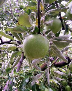 Caimito or star apple is a tropical fruit tree native to the West Indies Exotic Fruit, Tropical Fruits, Exotic Plants, Star Apple, Apple Photo, Types Of Fruit, Pitaya, Jamaican Recipes, Nature Tree
