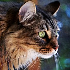 Maine Coon!