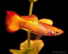 Tequila Sunrise Guppy:  Odd name, beautiful fish.