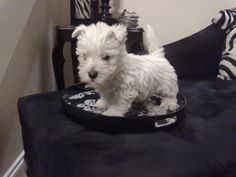 I want this brought to me on a serving tray :) Westie pup.