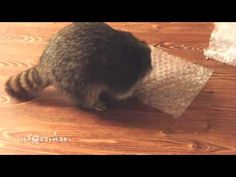 This Raccoon Is Just As Addicted To Bubble Wrap As You Are -- It's just too cute not to watch