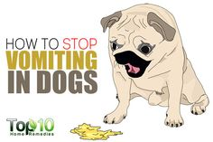 Like humans, it is not uncommon for dogs to vomit from time to time. However, as dogs are dependent on their owners and can't say anything, handling such situations is not always easy. When dogs vomit, their abdominal muscles contract very strongly several times before the food is actually ejected from the mouth. This completely …