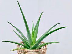 Inside Plants, Cool Plants, Air Plants, Indoor Plants, Indoor Gardening, Container Gardening, Lucky Bamboo Plants, Cast Iron Plant, Fast Growing Plants