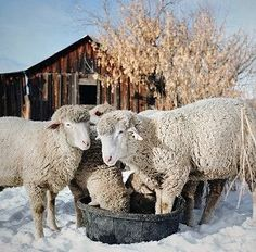 "eredion:""""down on the (wyoming) farm by © Danielle Nelson"" "" Farm Animals, Cute Animals, Beside Still Waters, Future Farms, Sheep Farm, Pretty Baby, Sea Creatures, Farm Life, Animal Photography"