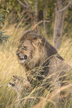 Giant Anaconda Vs Jaguar Vs Lion Vs Python Vs Lion Real ...