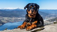 11 Things only Rottweiler owners understand – SheKnows Rottweiler Training, Rottweiler Breed, Rottweiler Info, Rottweiler Names, Doberman, Big Dogs, Cute Dogs, Dogs And Puppies, Doggies