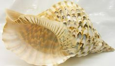 concha-do-mar-seashell-charonia-tritonis-coquillages-6616-MLB5087826166_092013-F