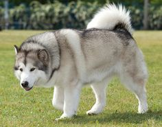 Alaskan Malamute (Silver & White) - looks like my family's dog Rachel. She would sneak food and sleep on the couch at night when she was not to be on the furniture.