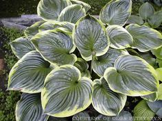 Giant Hosta Cultivar  Hosta All that Jazz is a giant, upright hosta with shiny green leaves with a yellow margin.  The petioles are upright and hold the l