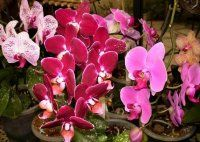 Various phalaeonopsis orchids in bloom Bloom, Plants, Style, Flora, Plant, Planting