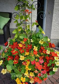 How To Grow Nasturtiums In Outdoor Planters ~ red, yellow, orange and pink trailing nasturtiums growing in outdoor planters