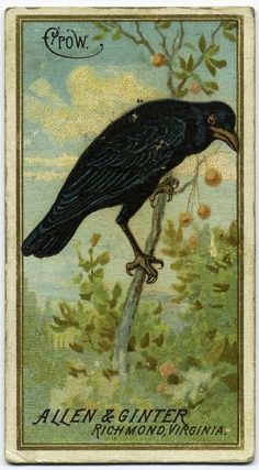 Crow, from the Birds of America series for Allen & Ginter Cigarettes Brands by Allen & Ginter, Drawings and Prints Medium: Commercial color lithograph The Jefferson R. Crow Art, Bird Art, Illustrations, Illustration Art, Quoth The Raven, Birds Of America, Jackdaw, Crows Ravens, Collage
