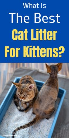 What is the best cat litter for kittens? Plus, the right age to introduce your kitten to litter, and the type you should NEVER use. Best Cat Litter, Litter Box, Tiny Kitten, Little Kittens, Cats And Kittens, Different Types Of Cats, Pet Shampoo