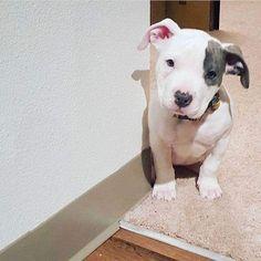 OMG!! So Cute #pitbull