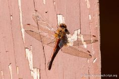 Unlike some members of the Odonata, the autumn meadowhawk dragonfly does not migrate but completes a life cycle in one summer.