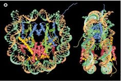 DNA Packaging: Nucleosomes and Chromatin #relationship #between #chromatin #and #chromosomes http://coupons.nef2.com/dna-packaging-nucleosomes-and-chromatin-relationship-between-chromatin-and-chromosomes/  # DNA Packaging: Nucleosomes and Chromatin The basic repeating structural (and functional) unit of chromatin is the nucleosome, which contains eight histone proteins and about 146 base pairs of DNA (Van Holde, 1988; Wolffe, 1999). The observation by electron microscopists that chromatin…