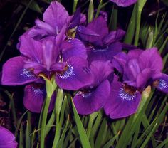 Purple Japanese irises at night.  If my Mama culd have irises on her table every day, I know it would make her smile.