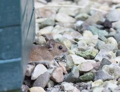 This wee field mouse lives with his family in my parents' garden and is known as Danger. I may 'accidentally' drop loads of bird food on the ground every time I visit. This was the first time I got a picture of any of them sneaking out for a snack. #referendumdistraction #miceofinstagram