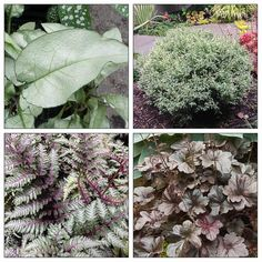 Burgundy and Silver Foliage Vignette for shade garden. Follow the link to the all the info on the plants included in this planting combination! http://flwr.pt/8e8sk/0