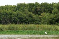 La vegetación flotante, los juncales y los manglares forman una cortina verde a lo largo de los distributarios del Atrato.