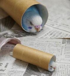 Toilet paper rolls are parakeet toys