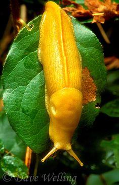 Wild Banana Slug (Ariolomax Columbianus) ~ © Dave Welling
