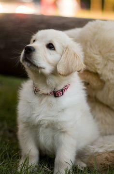 cute puppy    Golden Retriever puppy