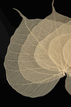 """Natural 4""""- 5.5"""" Bodhi Tree Skeleton Transparent Leaves (10 leaves pkg) Company doesn't ship outside of the US"""