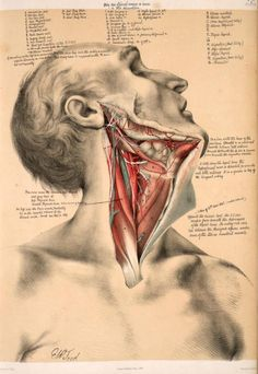 Grabado sobre la disección del cuello de 'Illustrations of Dissections' por George Viner Ellis, 1867.
