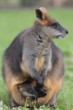 Moeraswallabie (by K.Verhulst)