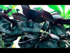 Черная Орхидея! Получена! Ура!))))))
