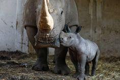 Rami (derecha), un bebé rinoceronte, nacido hace una semana junto a su madre, Rihanna, es mostrado a los medios de comunicación en el Zoológico de Ramat Gan Safari de Tel Aviv (Israel).