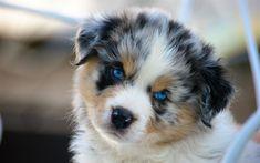 Herunterladen hintergrundbild 4k, australian shepherd, welpen, niedliche tiere, blaue augen, hunde, aussie