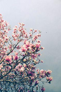 Flower Photograph  Pink Magnolia Art Print  by joystclaire on Etsy