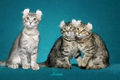 american curl - Different type of cat Breeds at Catsincare.com