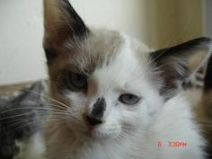 Maggie is an adoptable Snowshoe Cat in West Covina, CA.  APPROX DATE OF BIRTH:  April 9 2012 approx BACKGROUND