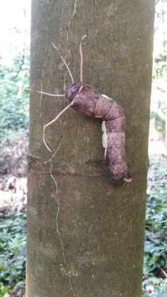 Unknown caterpillar on the northeastern flanks of Rincón de la Vieja volcano.  Photo taken by Mariana Locayo.