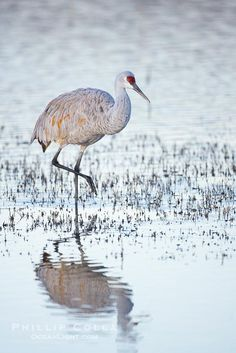 Sandhill crane resting in a shallow pond, reflected in still water with soft predawn light
