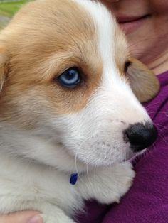 Blue-eyed Corgi just like Sadie!
