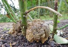 Crown Gall | Planet Natural