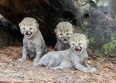 The five-week-old cubs are now eagerly exploring their outdoor habitat